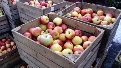 Gmina Sztutowo.Informacja o dystrybucji jabłek - 04.04.2017