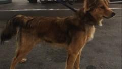 Gmina Stegna : Znaleziono psa w miejscowości Chełmek - Osada - 11.09.2017