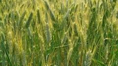 Powiat nowodworski : Komunikat rolniczy o zagrożeniu upraw Wojewódzkiego Inspektoratu Ochrony Roślin i Nasiennictwa