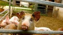 Afrykański pomór świń: Informacja Pomorskiego Wojewódzkiego Lekarza Weterynarii