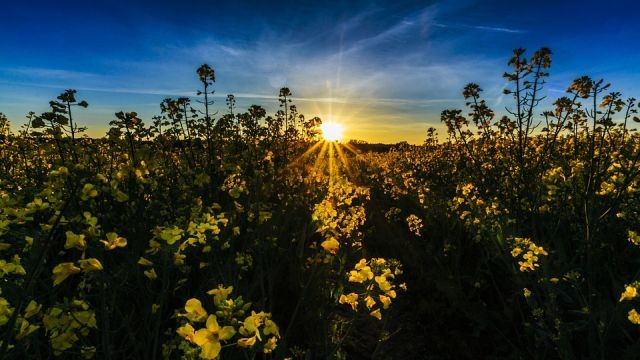 Komunikat rolniczy Wojewódzkiego Inspektoratu Ochrony Roślin i Nasiennictwa Oddział Nowy Dwór Gdański