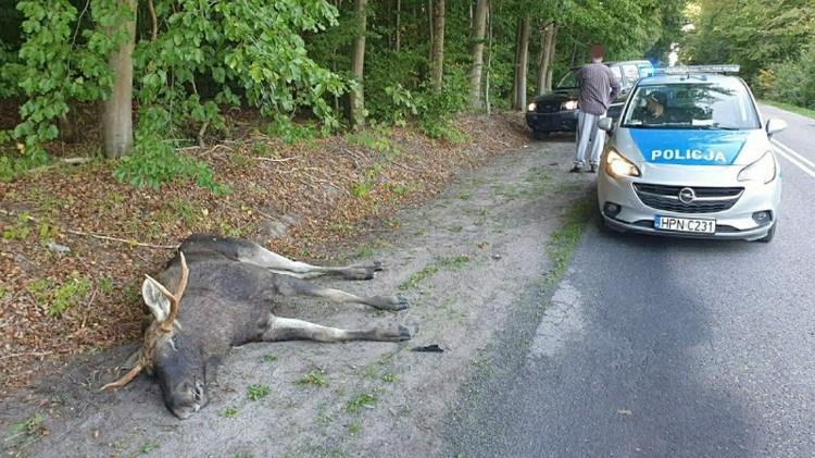 W wyniku zderzenia z pojazdem, łoś zginął na miejscu.