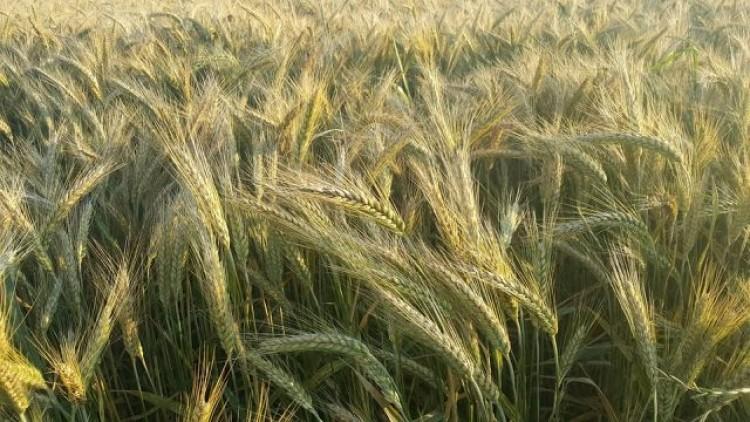 Gmina Sztutowo : Rolniku! Poniosłeś straty przez intensywne zjawiska…
