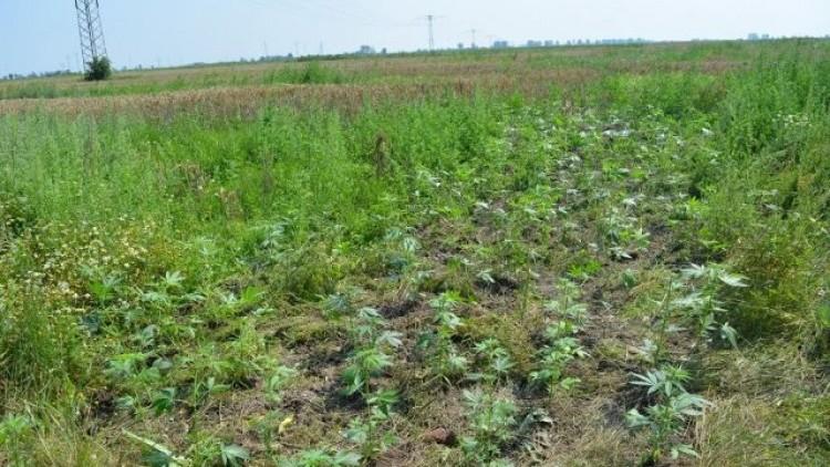 Gmina Stegna: Zabezpieczono nielegalną uprawę marihuany wartą ponad…