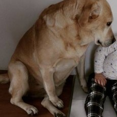 Oddam labradora w dobre ręce! (Malbork)