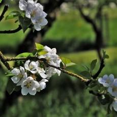 Sprzedam pięknie położoną i dobrze zaprojektowaną działkę rekreacyjno-owocową w ogrodach nad Nogatem